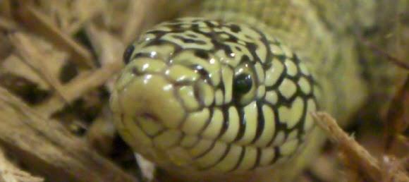 Lampropeltis getulus brooksi Königsnatter brooks king snake
