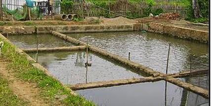 Tips Membesarkan Ikan Gabus Di Dalam Kolam
