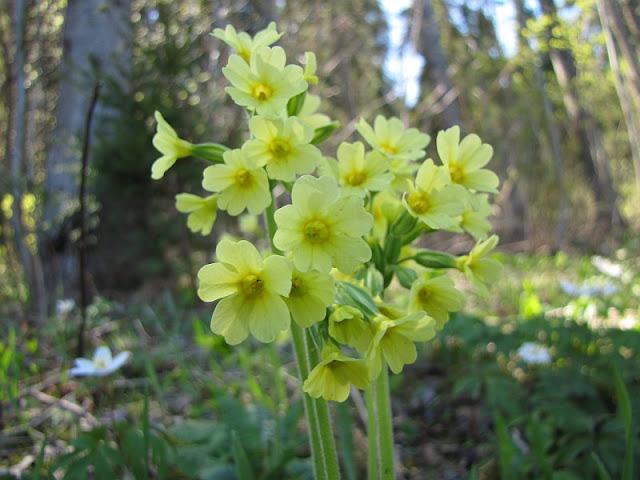 Pierwiosnek wyniosły (Primula elatior)