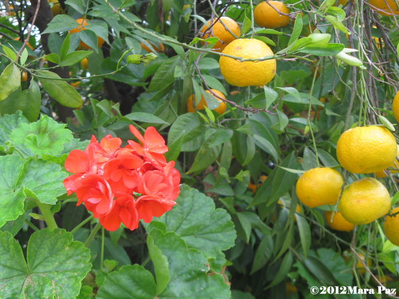 Tangerines and geranium