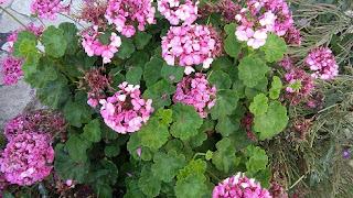 kıbrıs çiçek