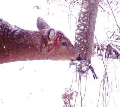 gored deer