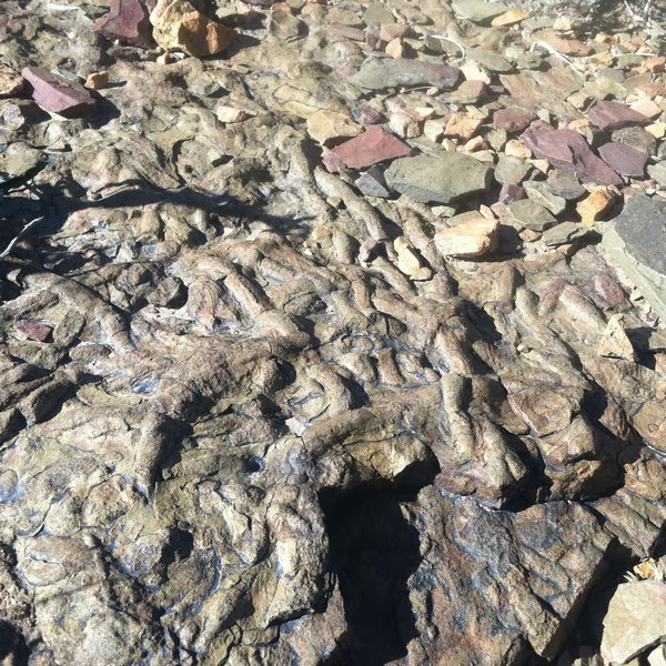 Inyo County Fossils - Ediacaran