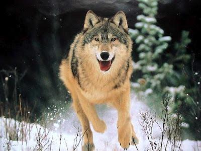 Вовк кращий мисливець дикої природи