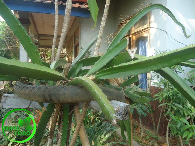 Tanaman buah naga yang diberi pupuk kandang berwarna hijau tua dan batangnya besar.