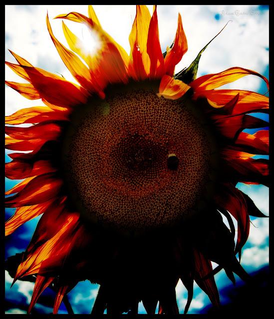 Eine Sonnenblume mit starken Kontrasten im Retro Stil