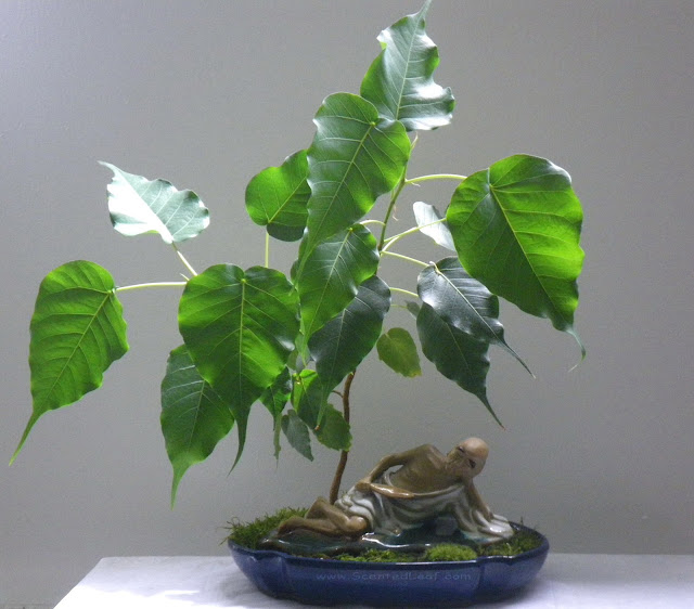 Ficus Religiosa  (Boo tree)  Bonsai started from seed