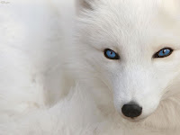Raposa branca