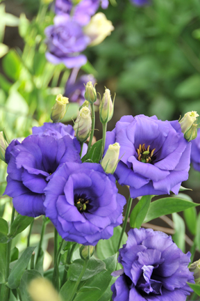learn about lovely lisianthus  flower talk, Natural flower