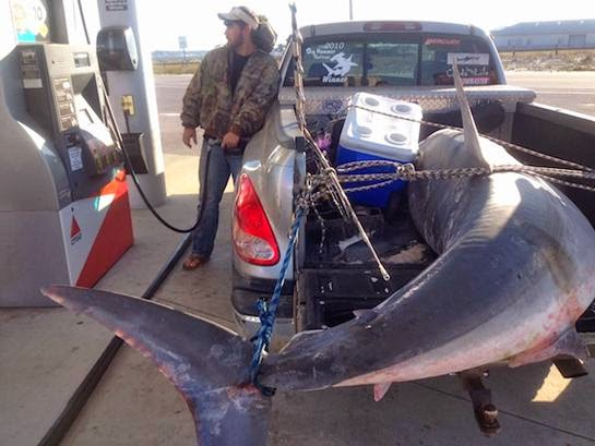 International fishing news florida caught an 805 lb mako for Shark fishing from shore