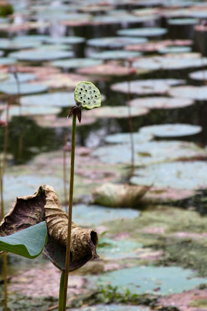Fresh Seed Pod of an American Lotus Plant-Brazos Bend State Park-Needville, Texas