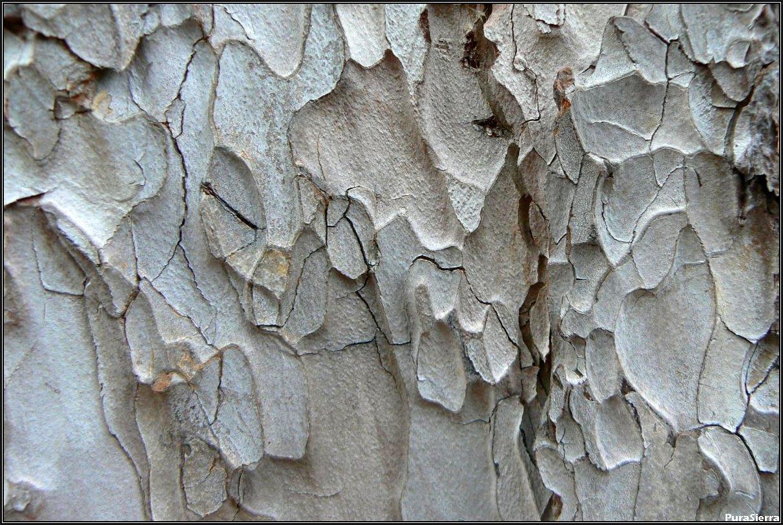 Capas en el tronco de un pino laricio