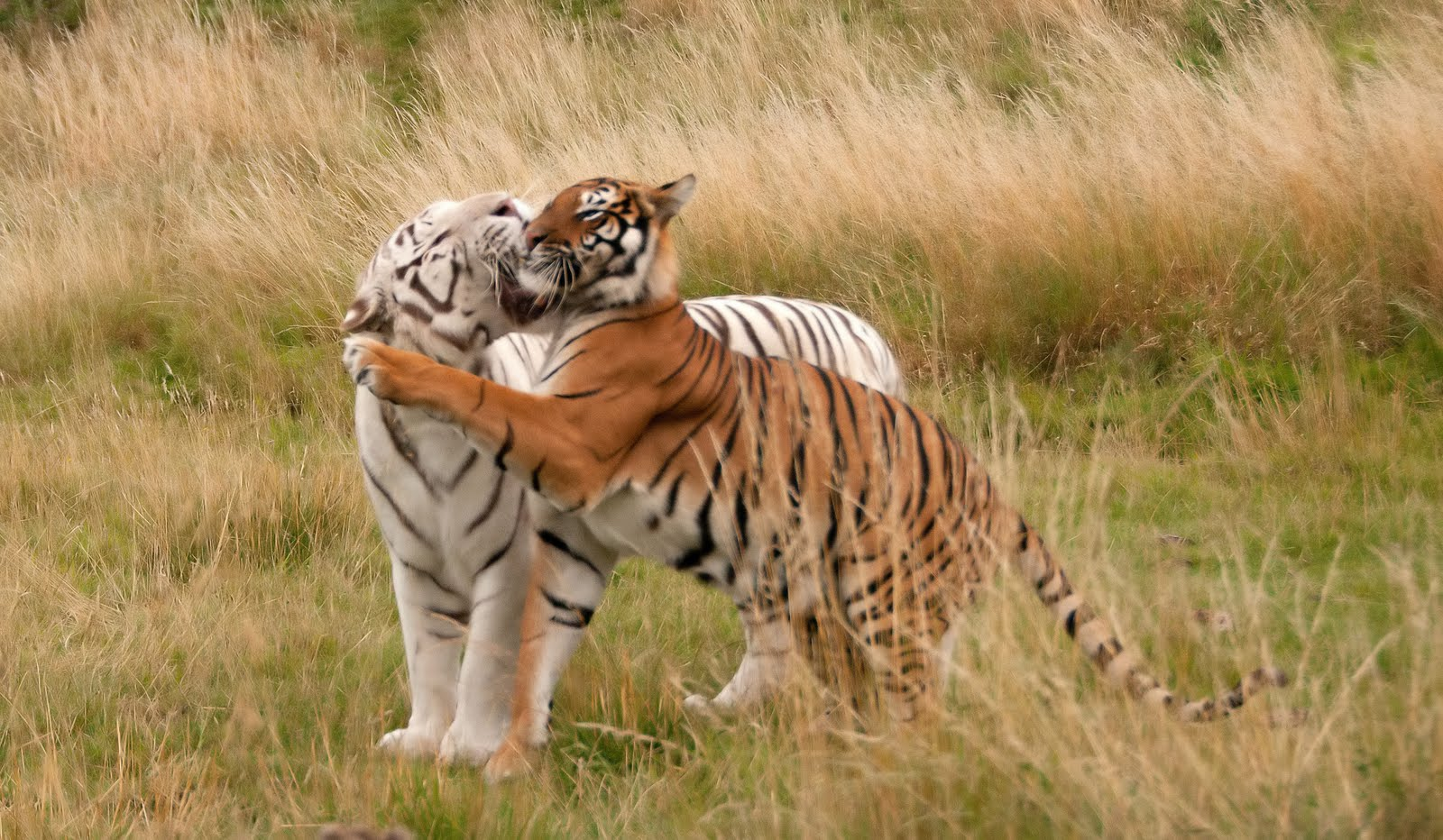 Anthony Miners Wildlife Photos: Bengal Tigers