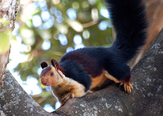 The News For Squirrels: Squirrel Facts: The Indian Giant