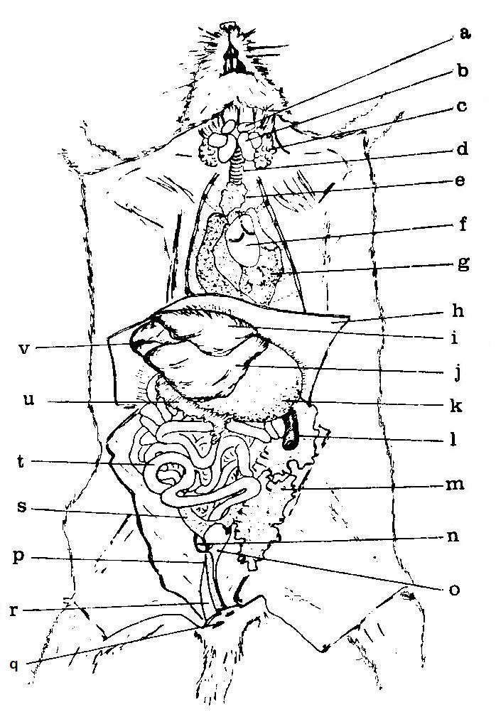 Moderno Diagrama De La Anatomía De Rata Imágenes - Anatomía de Las ...