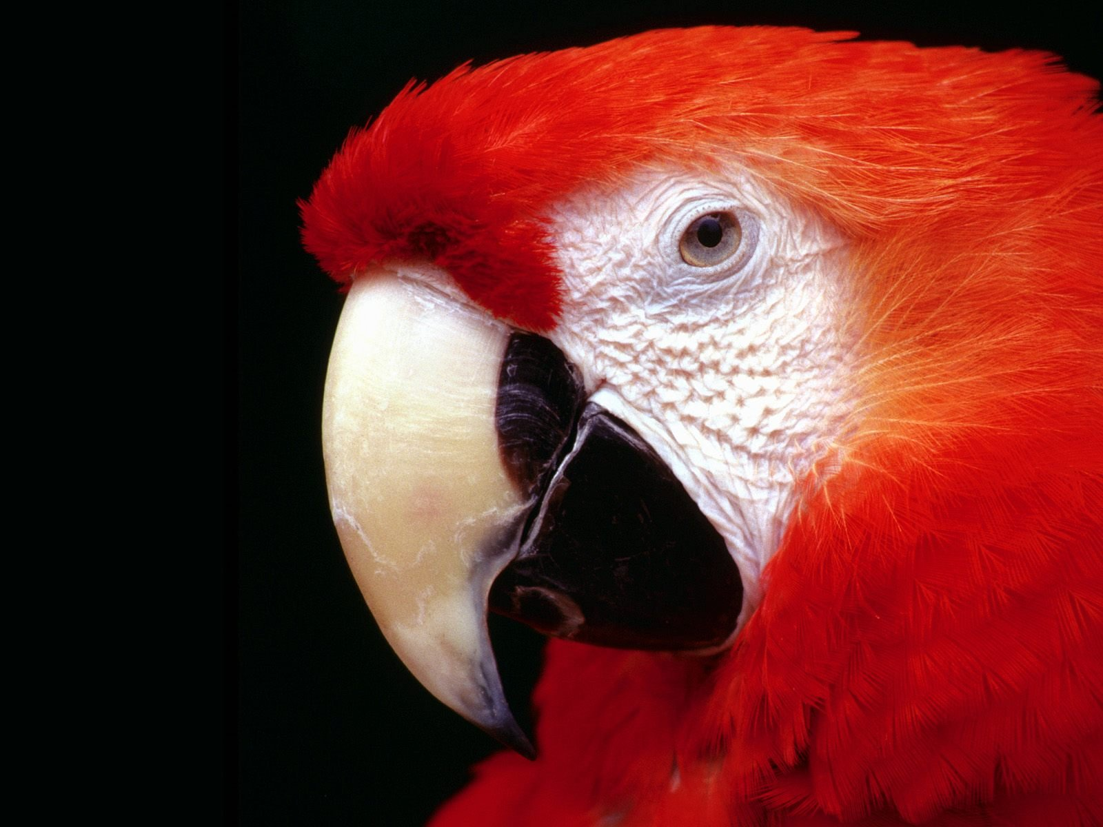 parrot high resolution wallpapers - Parrot Wallpapers HD Nice Wallpapers