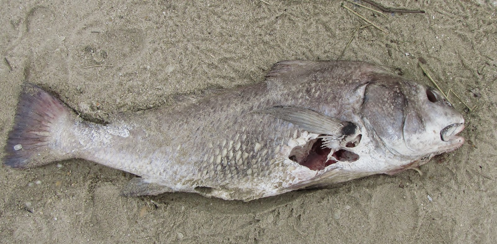 The gallery for black drum teeth for Black drum fishing