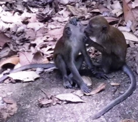 Long-tailed Macaques (Macaca fascicularis) or monkeys