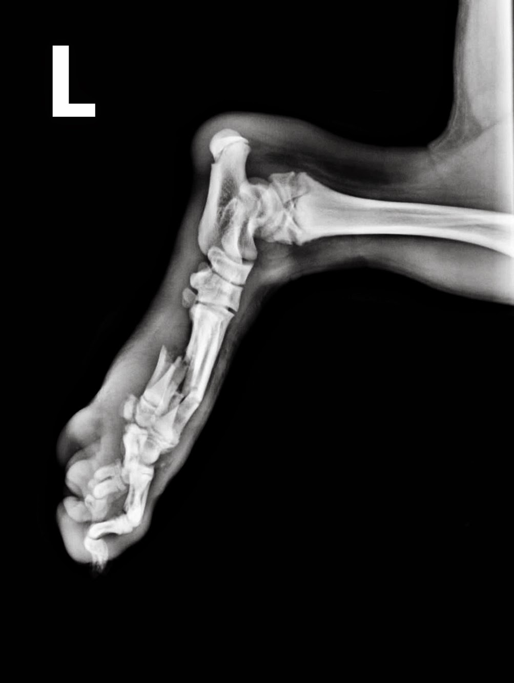 fractura metatarso cachorro
