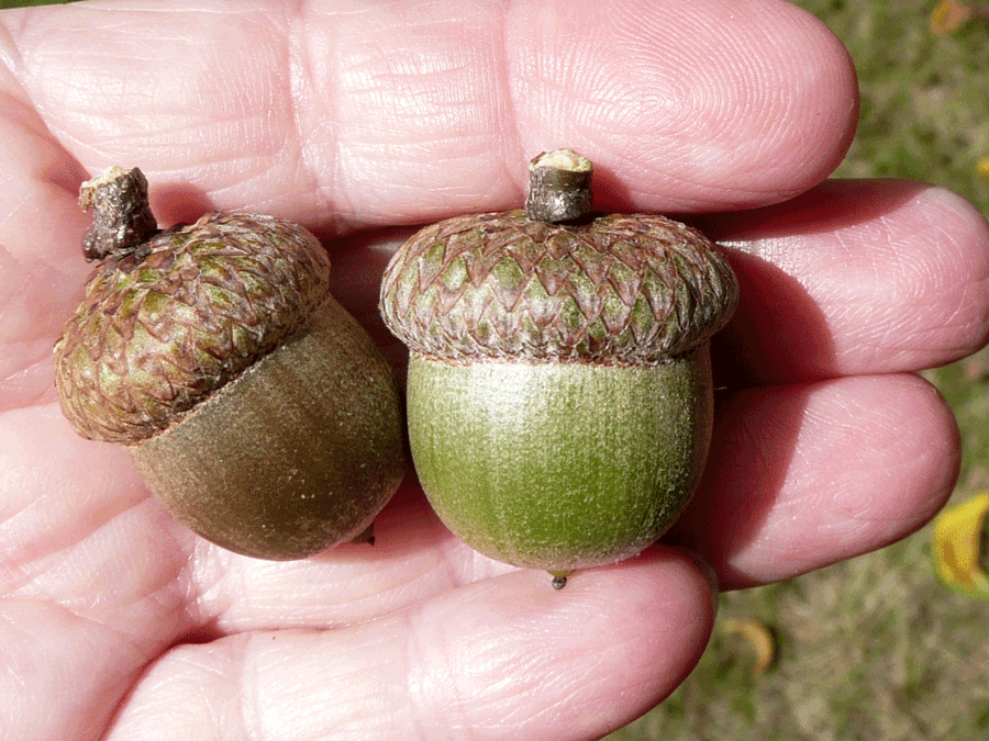 Central pennsylvania forestry planting acorns to grow oak