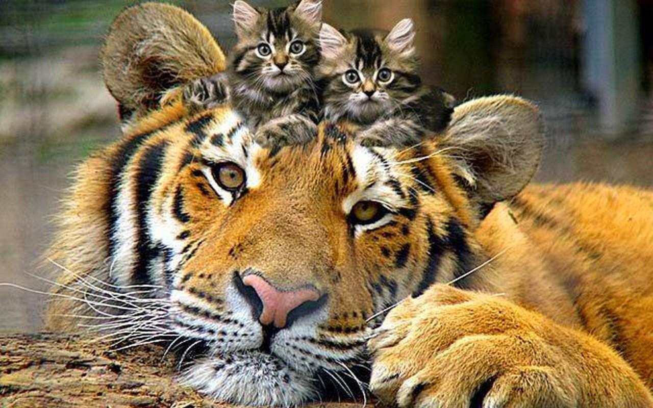 http://3.bp.blogspot.com/-UddYPltRj6Y/T92e9DMOnHI/AAAAAAAAB-4/WJ0wluxDjlk/s1600/imagini_haioasa_animale_tigru_3.jpg