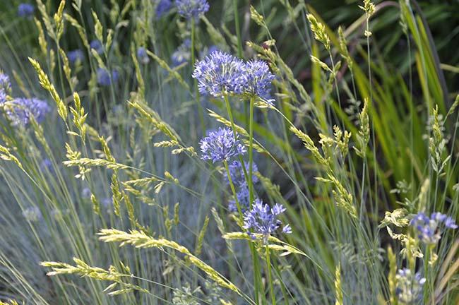 Festuca grass underplanted with Allium azure