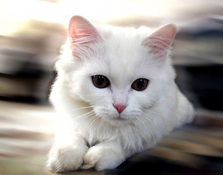 Stunning White Cat Picture 20206 1024x768   HD Wallpaper Image