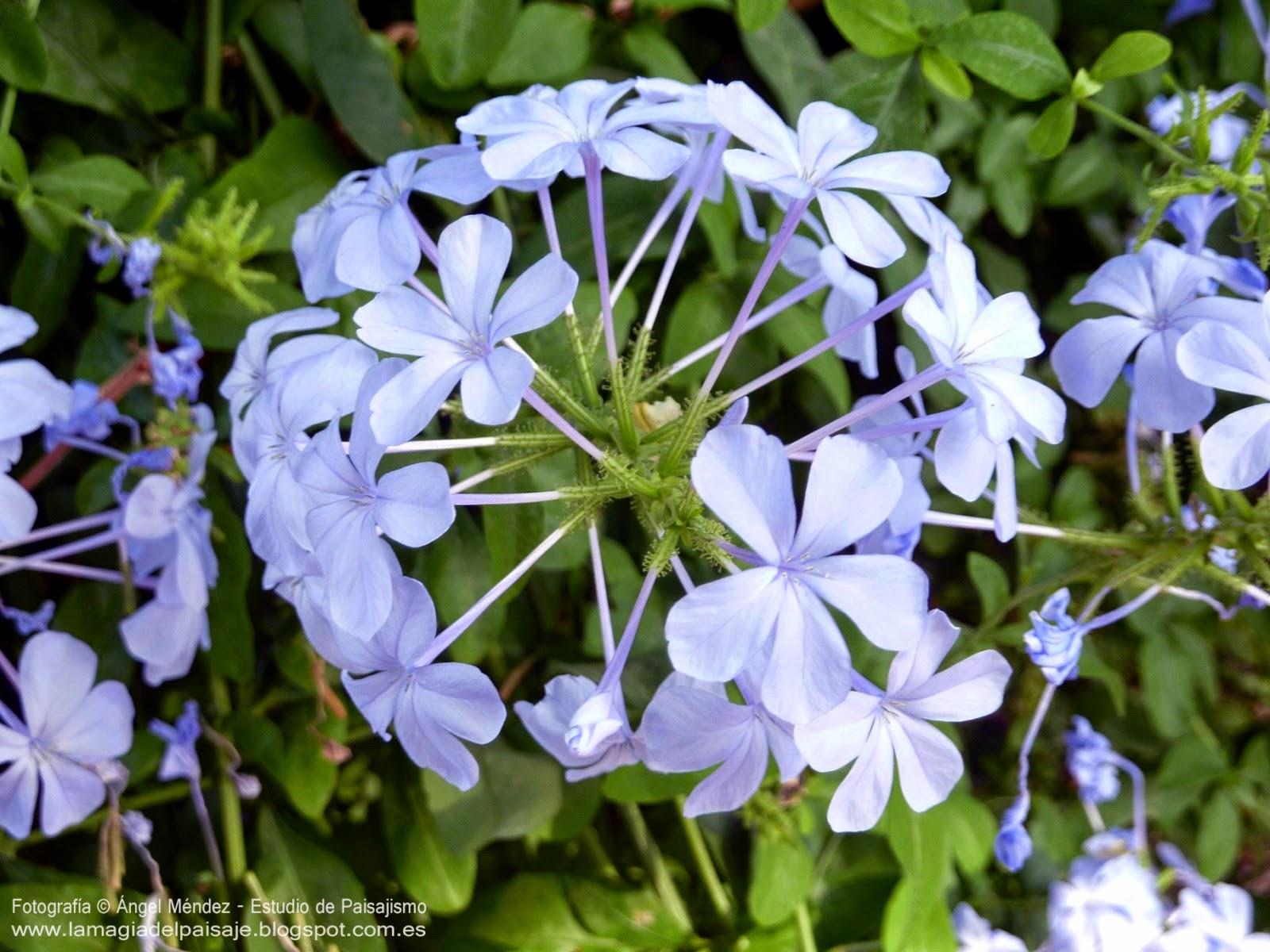 Plumbago auriculata diferentes usos para el dise o - Nombres de plantas de jardin ...