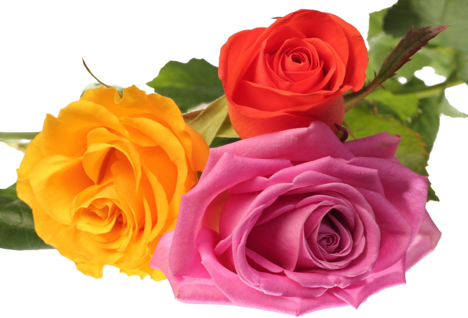 BANCO DE IMÁGENES: Rosas de colores para el 14 de febrero - San Valentín
