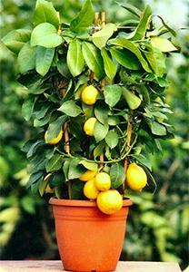Image gallery limonero - Limonero en maceta ...