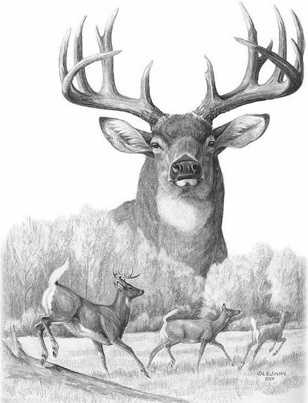 Go Back  gt  Gallery For  gt  Deer Hunting DrawingsDrawings Of Deer Bucks