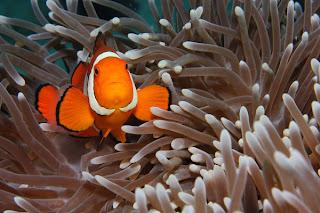 clownfish ocellaris anemone