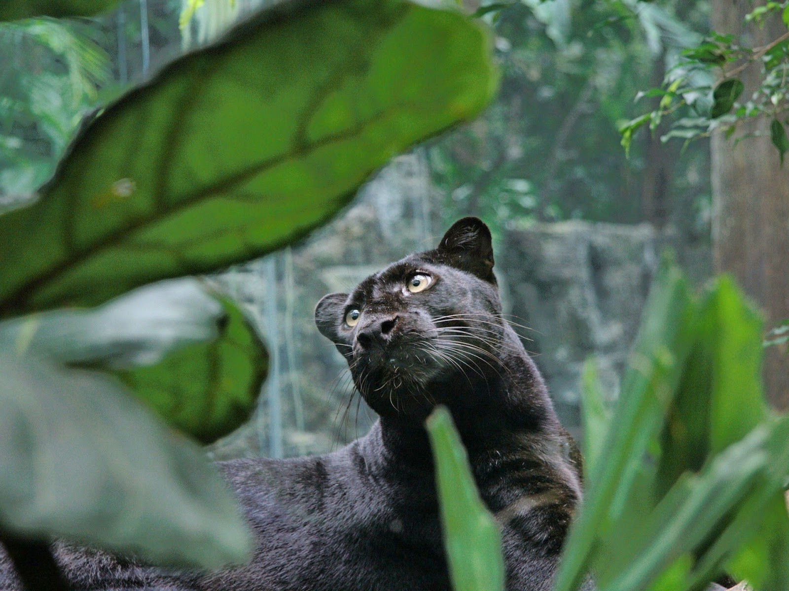 Angry black jaguar - photo#19