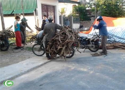 Đổ xô vào rừng săn cây chạc quẹch bán thương lái Trung Quốc