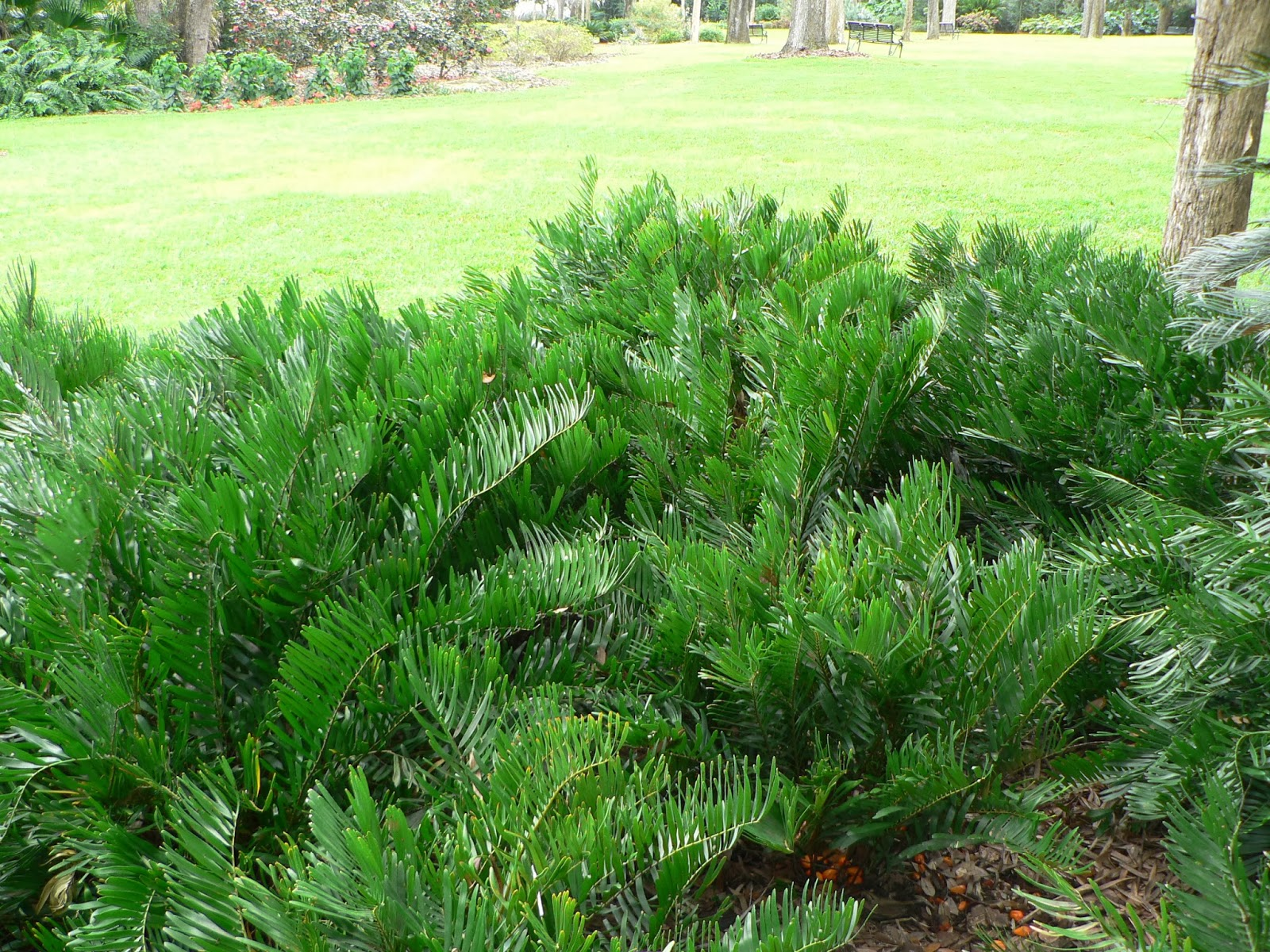 Uf ifas extension polk gardening native shrubs for for Low maintenance bushes for shade