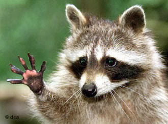 [Image: Raccoon-1.jpg]