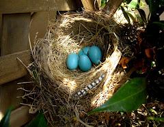 Robin nest 06/12