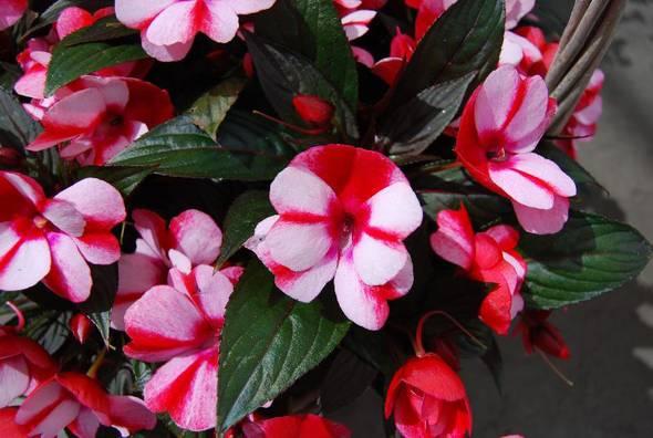 piante e fiori impatiens nuova guinea