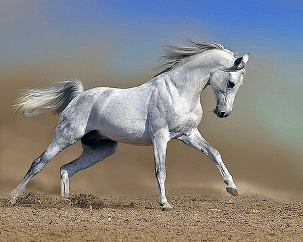 Galloping white horse - photo#28