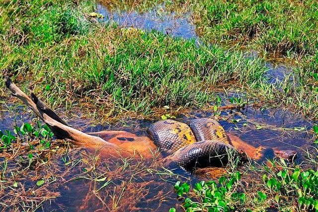 A sucuri matou um veado envolvendo-o  pela enorme força de constrição