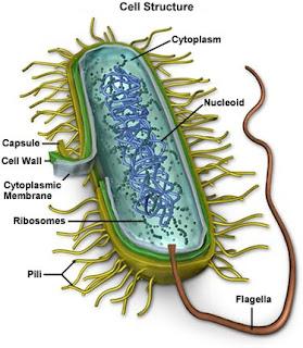 brucella cell diagram