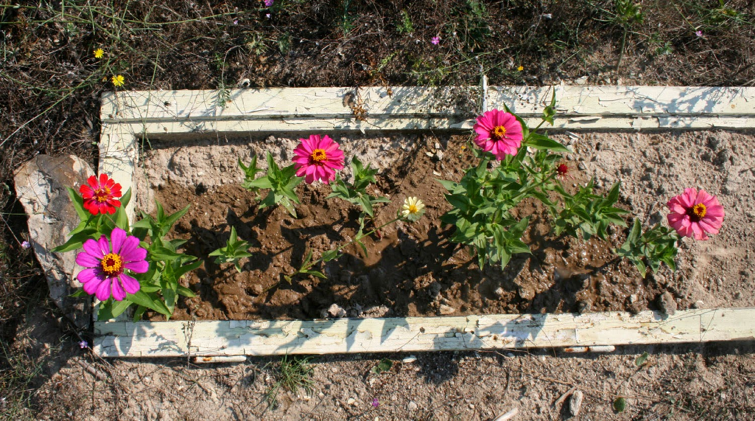 Overhead view of the Zinnias