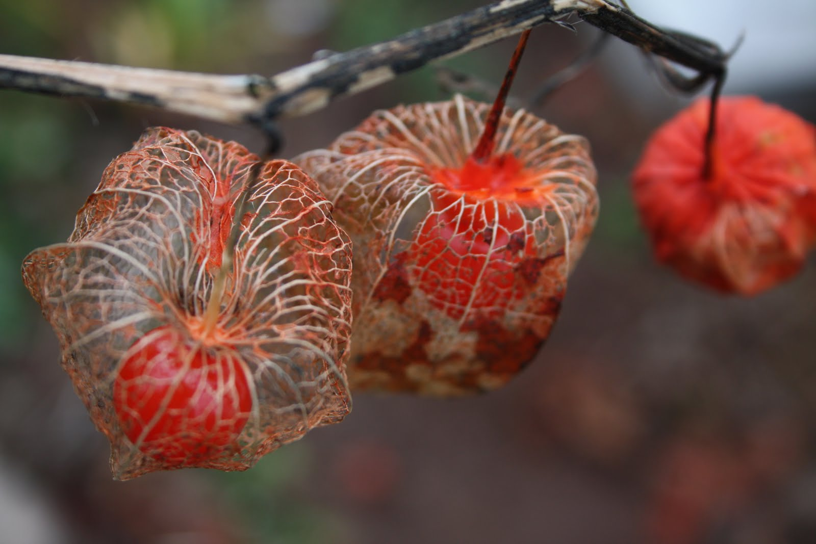 a maritime gardener: Skeletonized Chinese Lanterns ...