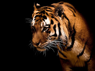 Tiger animal Wallpaper