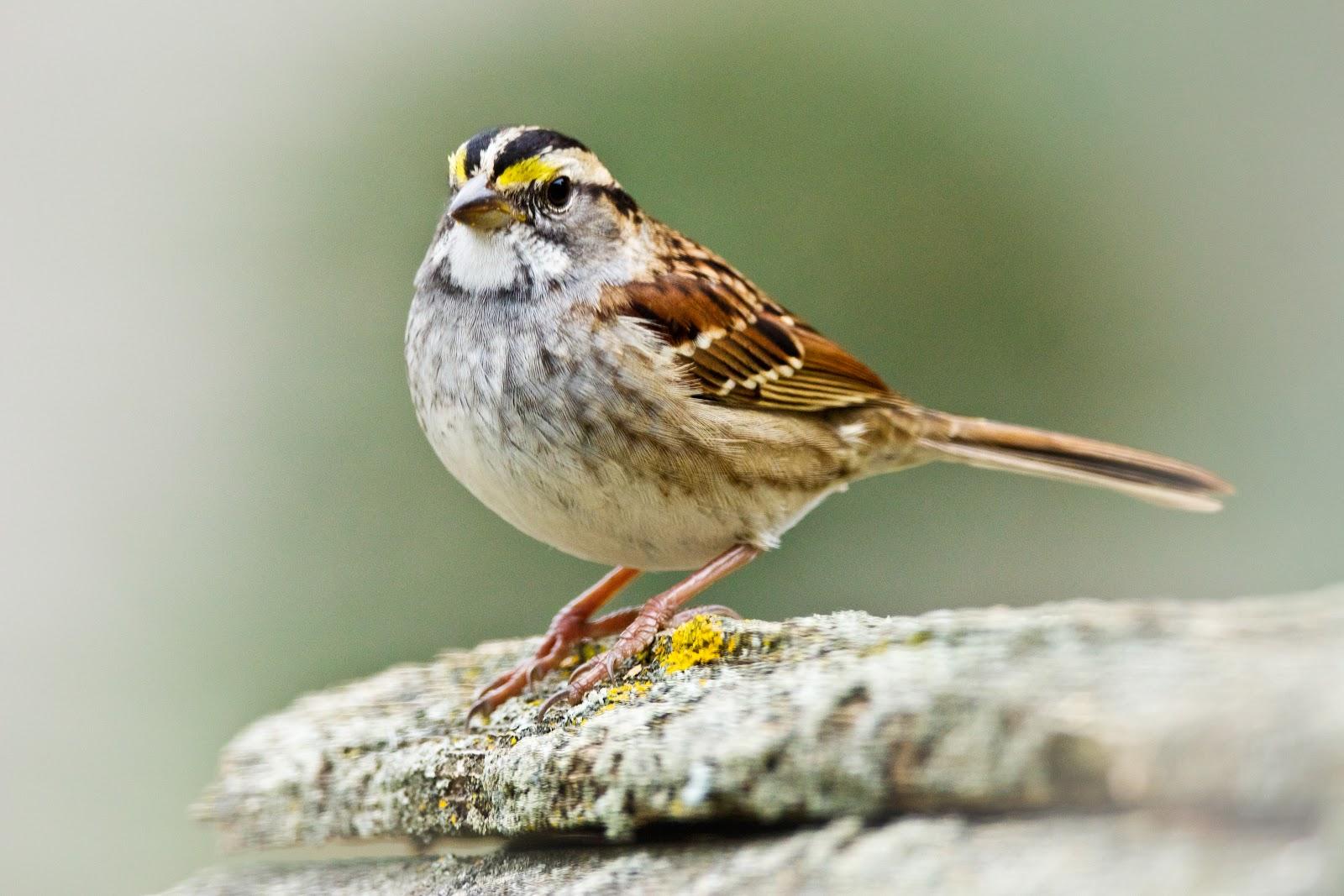 White Throat Sparrow 11