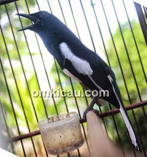 ... gambar burung kacer tapi dalam bentuk / versi wallpaper : Foto Burung