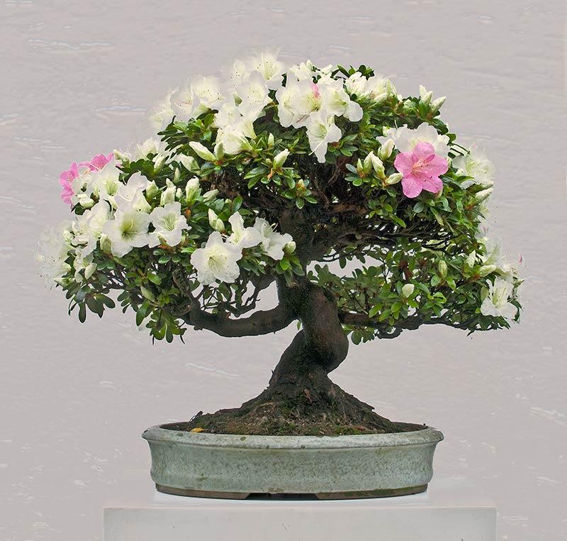 Walter pall bonsai adventures azalea 2 for Azalea bonsai