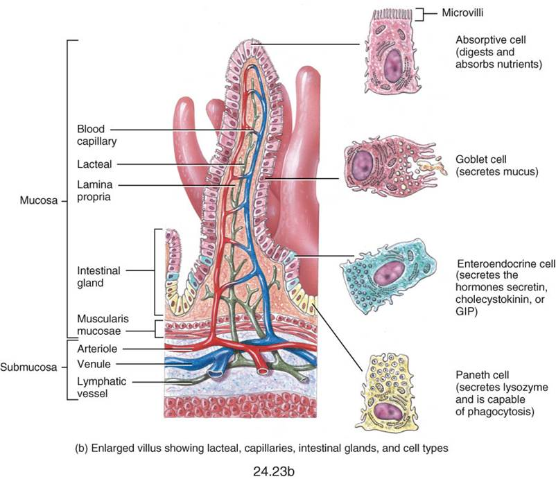 My biomedical notebook digestive system ccuart Gallery