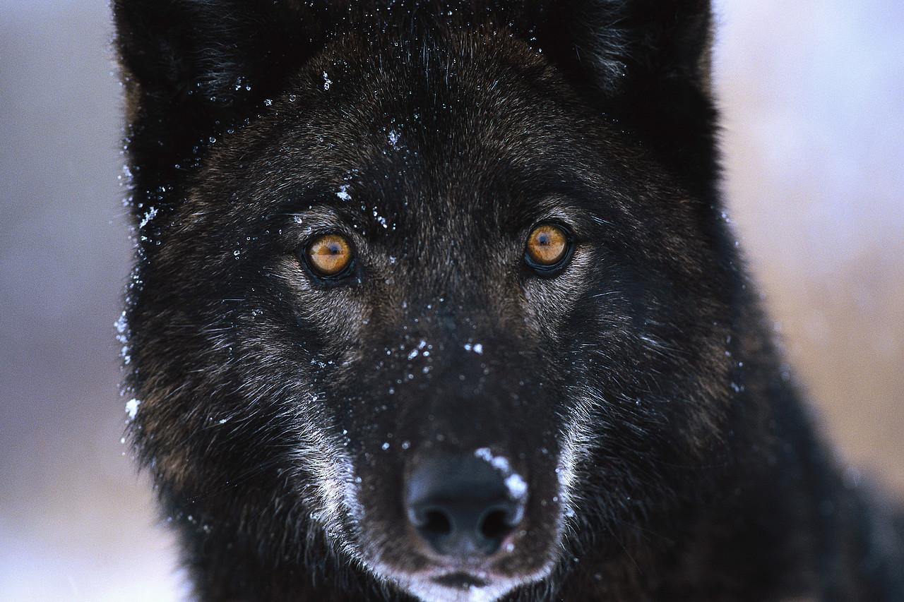 black wolf fresh hd desktop wallpapers 2013 beautiful