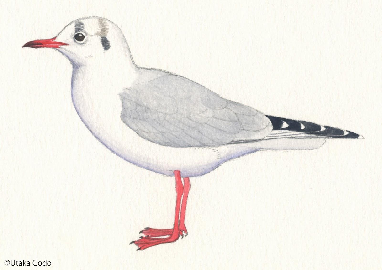 第19回 フワフワ羽ばたき、スイスイ飛ぶ 白衣の天使ユリカモメを探して